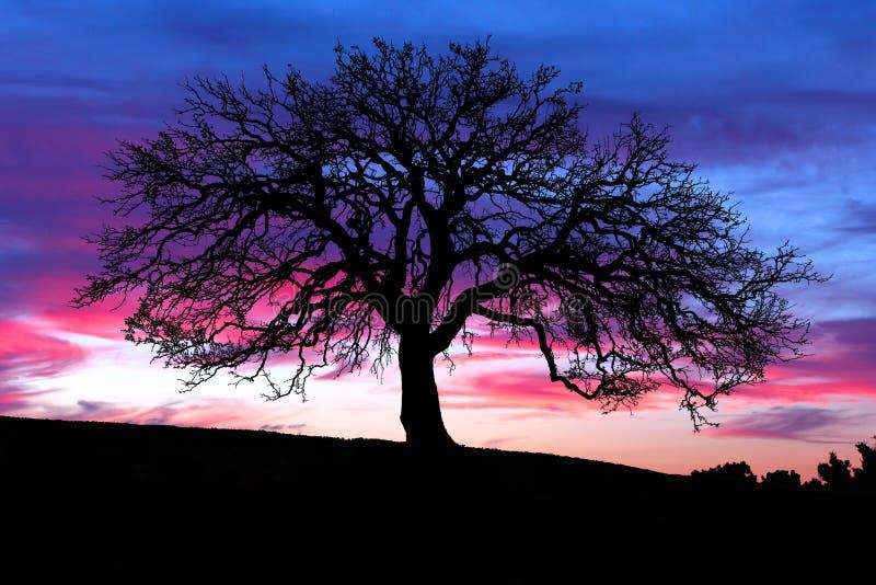 Puesta del sol del árbol de roble foto de archivo