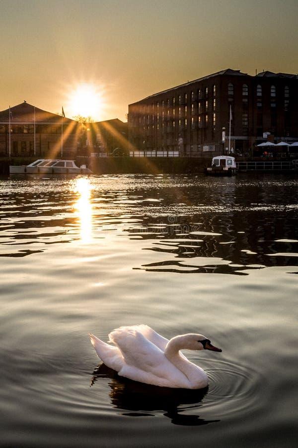 Puesta del sol del cisne foto de archivo libre de regalías