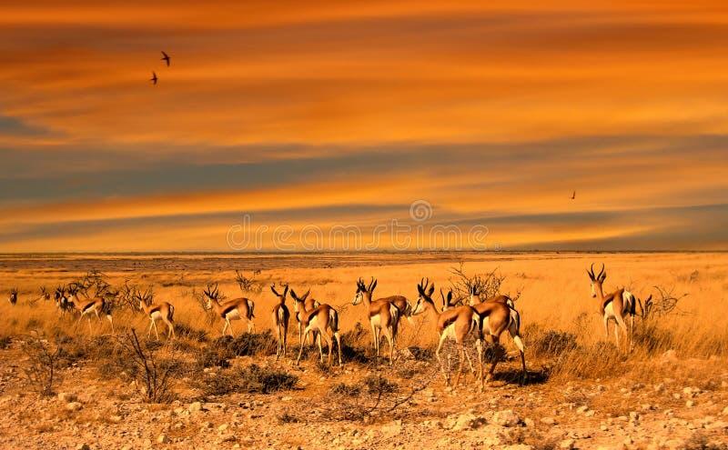 Puesta del sol del impala fotografía de archivo