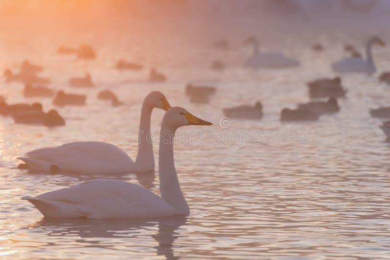 Puesta del sol del invierno de la niebla del lago swans imagen de archivo