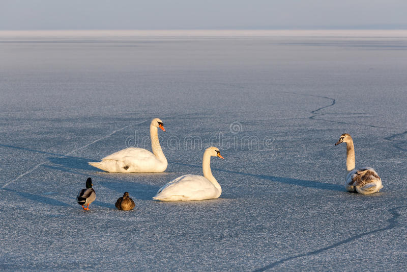 Puesta del sol del invierno sobre el lago Balatón de Hungría con los cisnes mudos imagenes de archivo