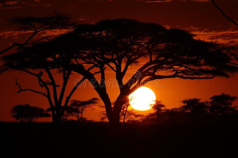 Puesta del sol del safari de África en árboles fotos de archivo libres de regalías