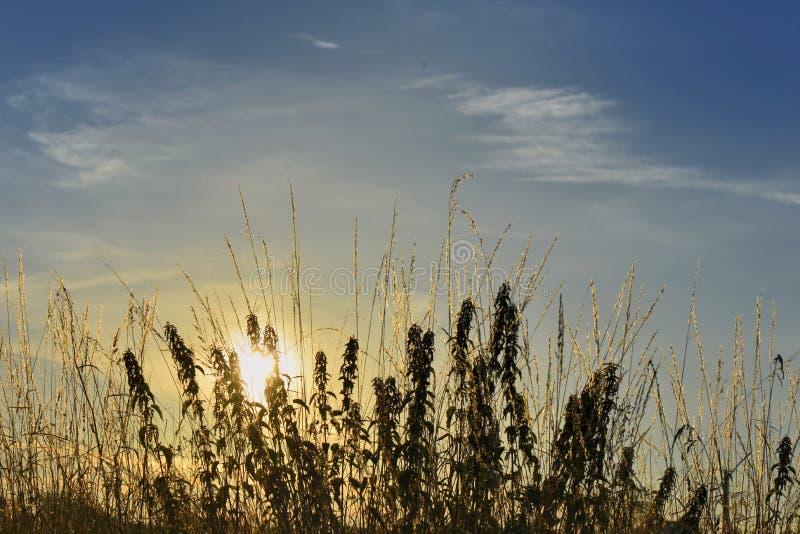 Puesta del sol detrás de la hierba salvaje foto de archivo libre de regalías