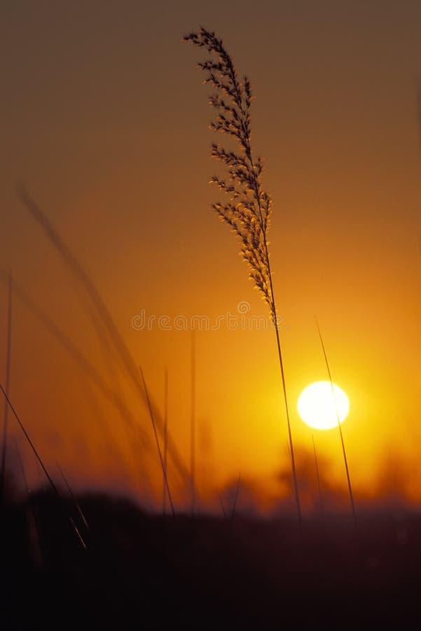 Puesta del sol e hierba, Botswana, África imagen de archivo