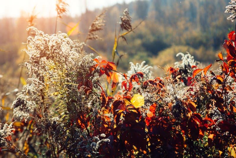 Puesta del sol e hierbas salvajes Luz del sol a través del follaje rojo de la hiedra cinco-con hojas Hojas amarillas, rojas, verd fotografía de archivo libre de regalías