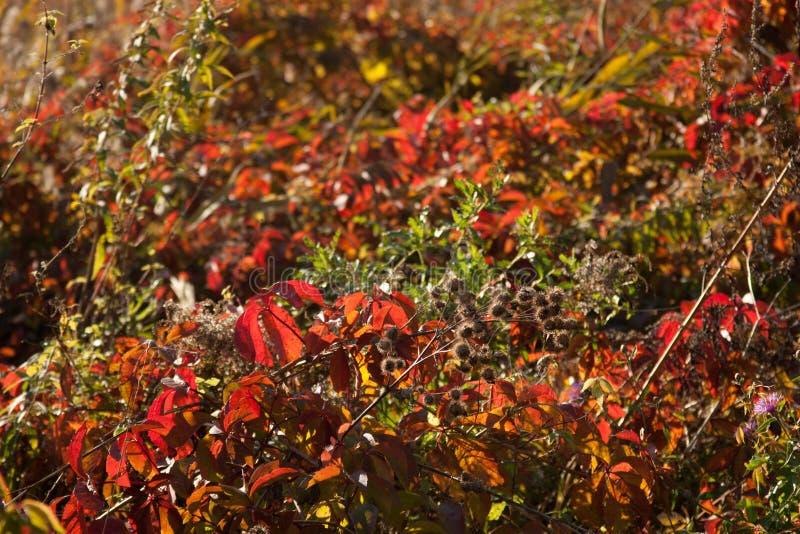 Puesta del sol e hierbas salvajes Luz del sol a través del follaje rojo de la hiedra cinco-con hojas Hojas amarillas, rojas, verd fotos de archivo