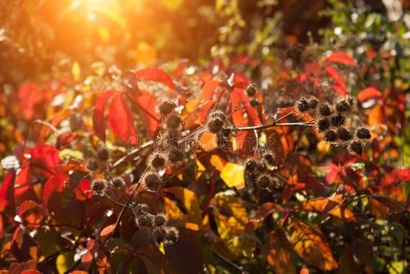 Puesta del sol e hierbas salvajes Luz del sol a través del follaje rojo de la hiedra cinco-con hojas Hojas amarillas, rojas, verd imagenes de archivo