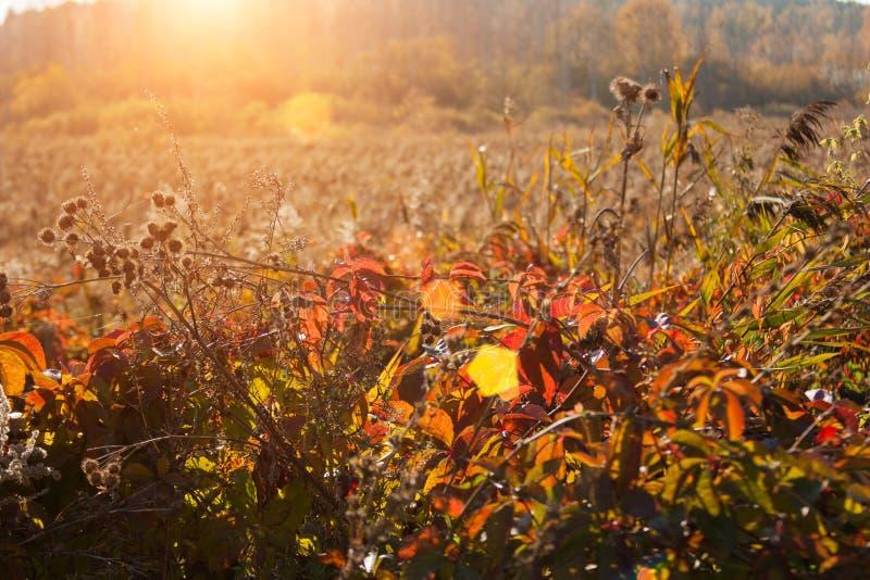 Puesta del sol e hierbas salvajes Luz del sol a través del follaje rojo de la hiedra cinco-con hojas Hojas amarillas, rojas, verd fotografía de archivo
