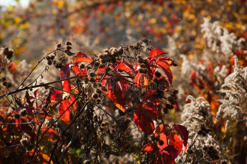 Puesta del sol e hierbas salvajes Luz del sol a través del follaje rojo de la hiedra cinco-con hojas Hojas amarillas, rojas, verd imágenes de archivo libres de regalías
