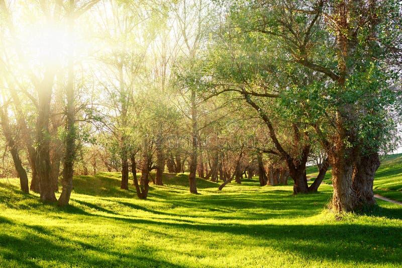 Puesta del sol en bosque, luz del sol con las sombras del árbol en el claro fotos de archivo