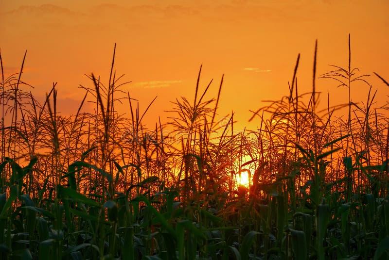Puesta del sol en campo de maíz imagen de archivo libre de regalías