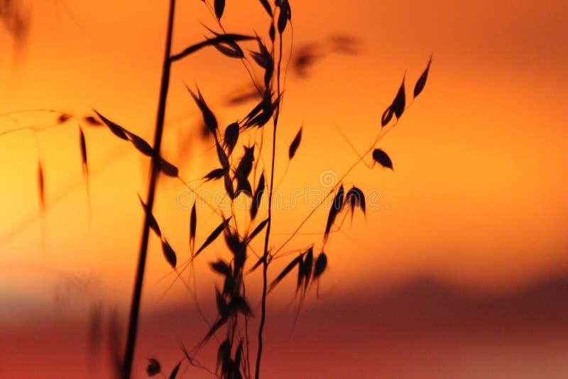 Puesta del sol en cosecha del trigo fotografía de archivo