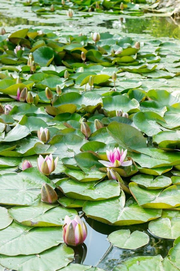 Puesta del sol en el lago con lotos florecientes El Moldavia, Briceni, mayo de 2018 imágenes de archivo libres de regalías
