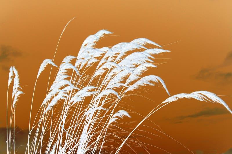 Puesta del sol en la hierba de pampa foto de archivo