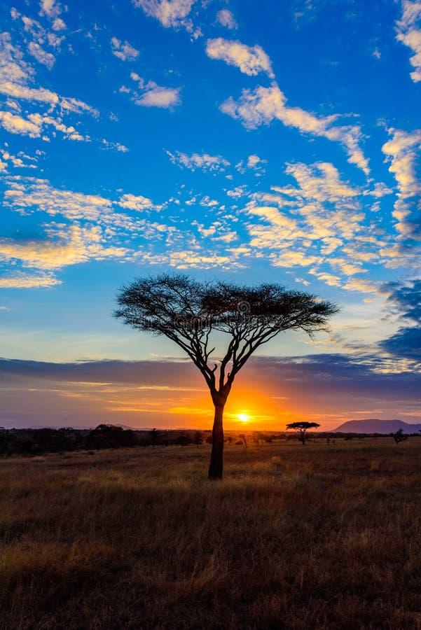 Puesta del sol en la sabana de África con los árboles del acacia, safari en Serengeti de Tanzania fotos de archivo libres de regalías