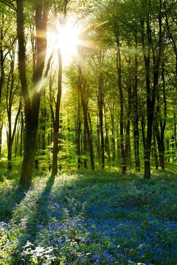 Puesta del sol en una madera del Bluebell foto de archivo libre de regalías