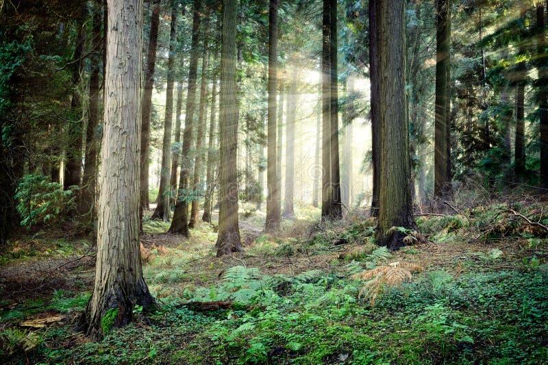 Puesta del sol hermosa en bosque misterioso imagen de archivo