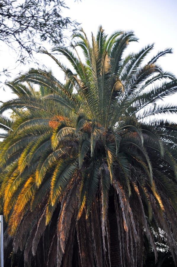 Puesta del sol imperial de la palmera fotografía de archivo libre de regalías