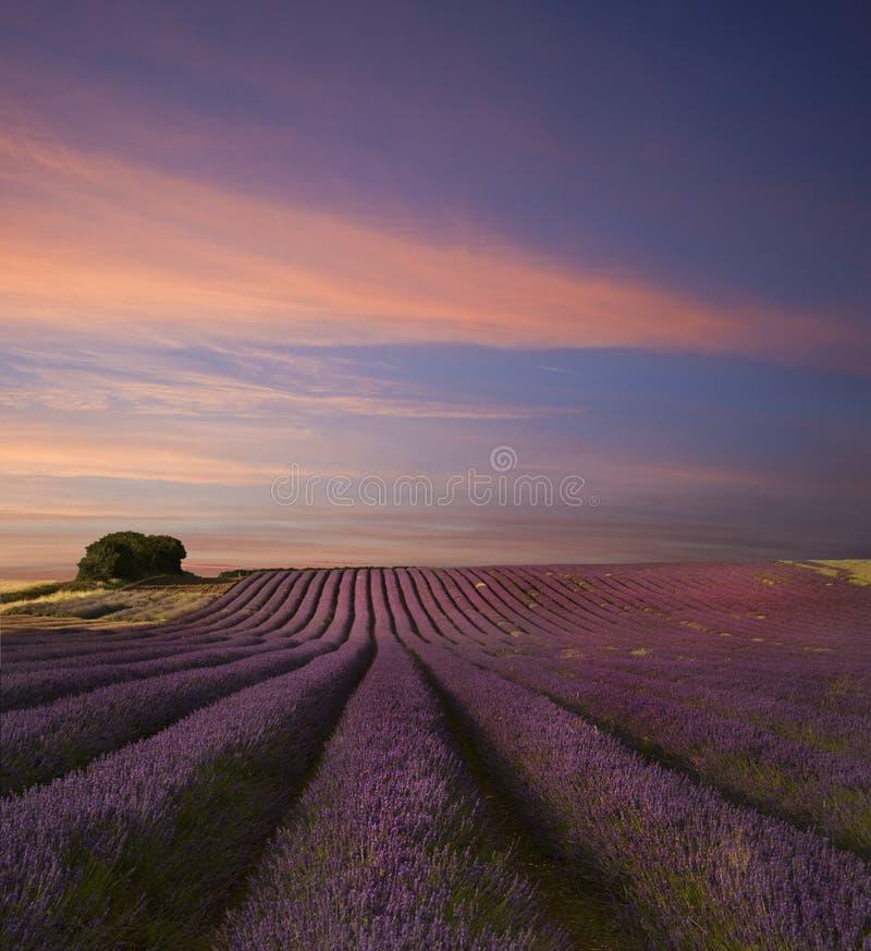 Puesta del sol imponente del verano del paisaje del campo de la lavanda imagen de archivo libre de regalías