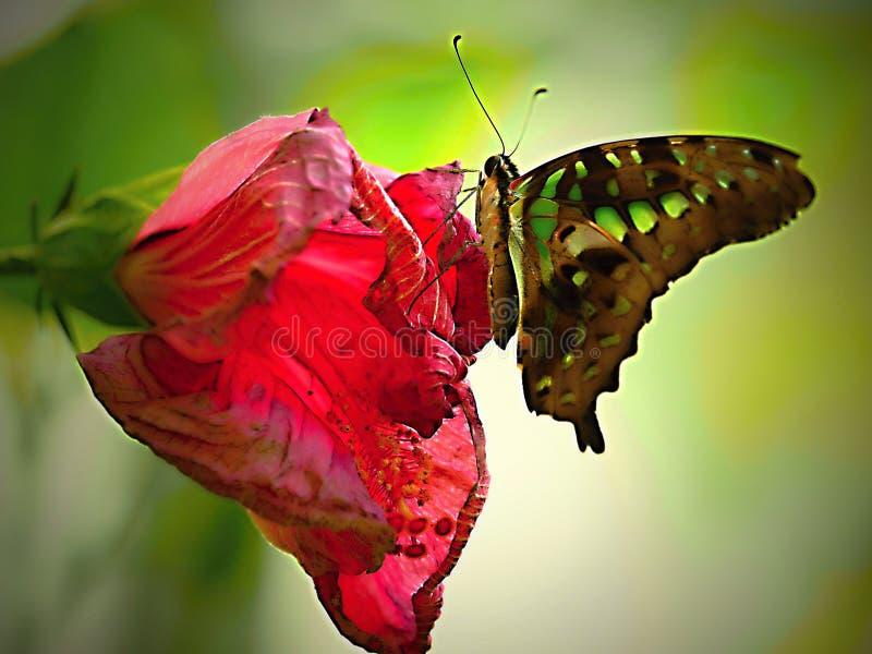 Puesta del sol - la mariposa se sienta silenciosamente en la flor - mariposa en el PARQUE ZOOLÓGICO, cierre para arriba fotografía de archivo libre de regalías