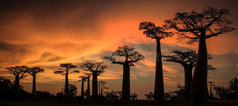 Puesta del sol panorámica en la avenida o el callejón del baobab, Menabe, Madagascar fotos de archivo libres de regalías