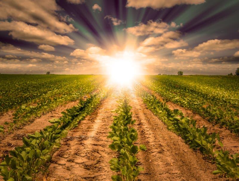 Puesta del sol potente en campo de granja con filas de la cosecha de la soja fotos de archivo