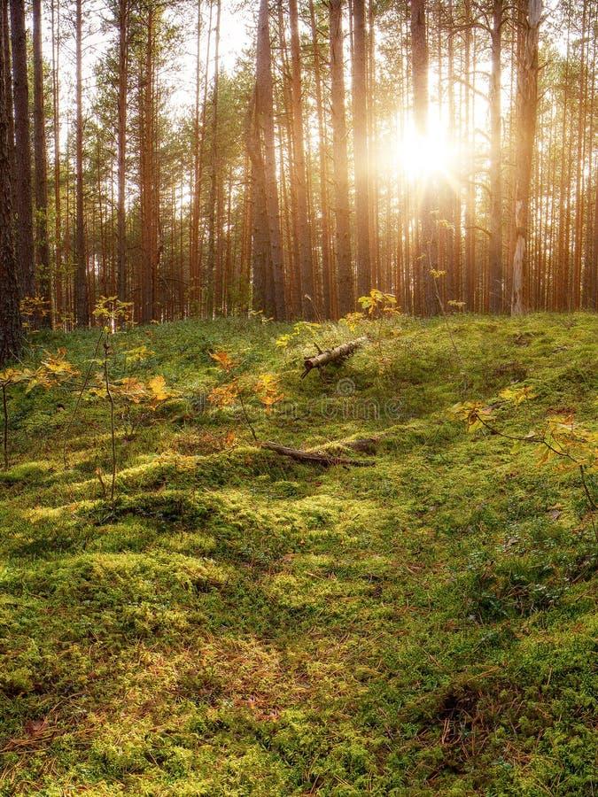 Puesta del sol preciosa detrás de Forrest In Russia Salida del sol en un bosque, rayos de sol a través de los árboles imagenes de archivo