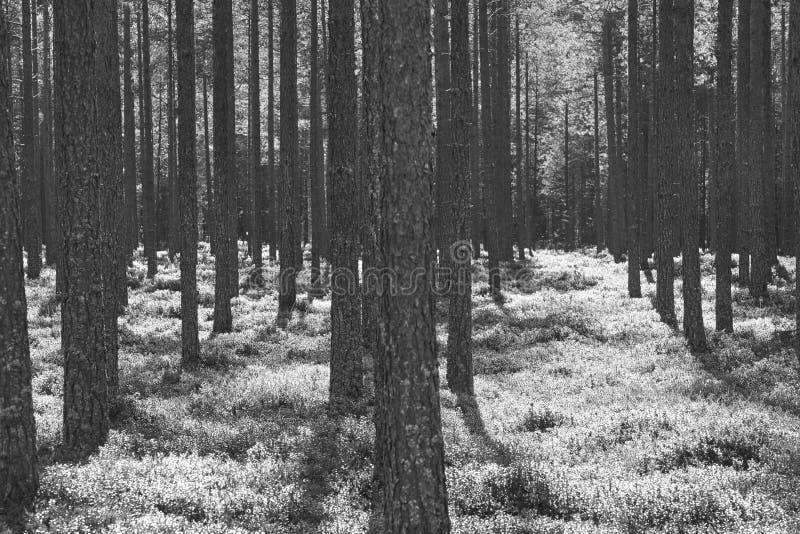 Puesta del sol retroiluminada de la puesta del sol del bosque de madera de pino Fondo de la naturaleza negro imagen de archivo libre de regalías