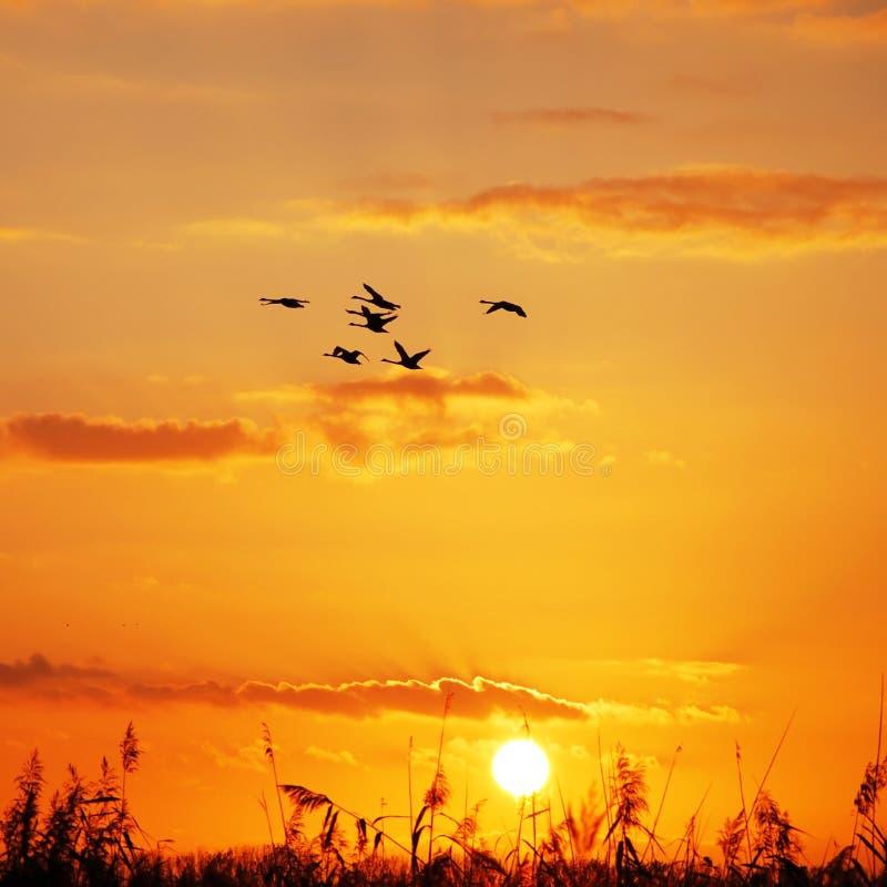 Puesta del sol salvaje de los gansos imágenes de archivo libres de regalías