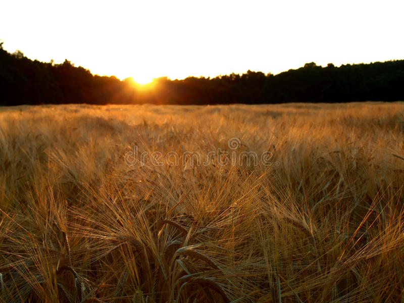 Puesta del sol sobre campo de la cebada fotografía de archivo libre de regalías