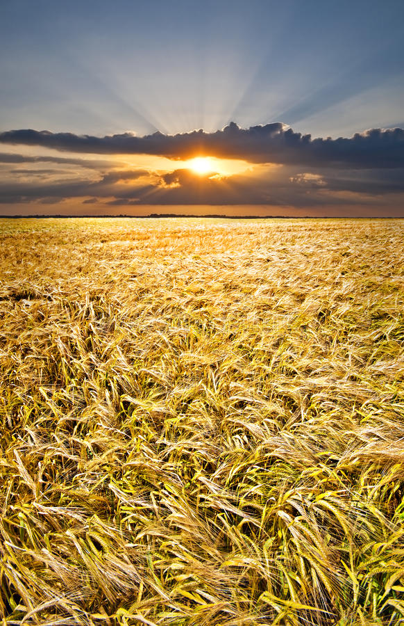 Puesta del sol sobre cebada foto de archivo libre de regalías