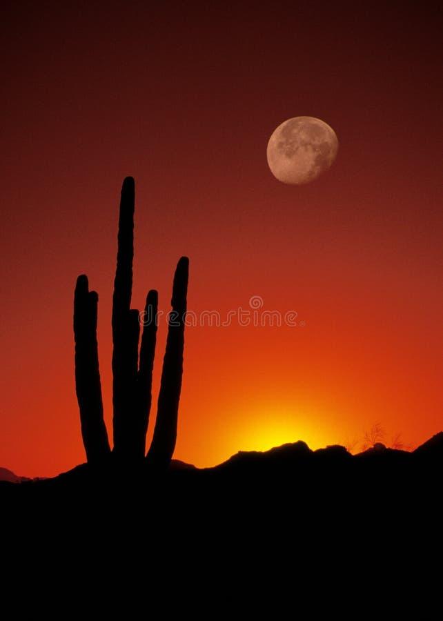 Puesta del sol sobre el cacto del Saguaro imagenes de archivo
