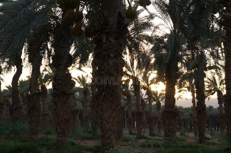 Puesta del sol sobre la plantación de las palmeras de la fecha fotografía de archivo libre de regalías