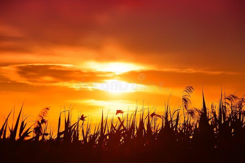 Puesta del sol sobre las cañas y los pájaros imágenes de archivo libres de regalías