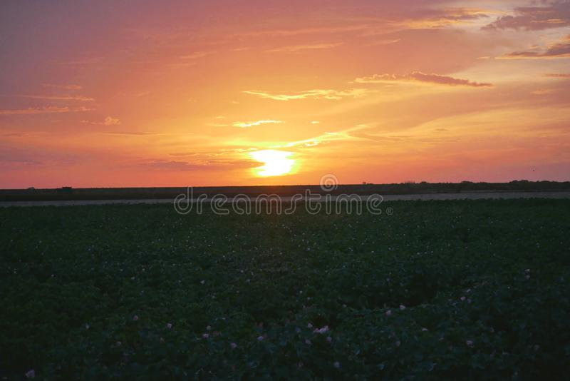 Puesta del sol sobre un campo del algodón en la floración fotos de archivo