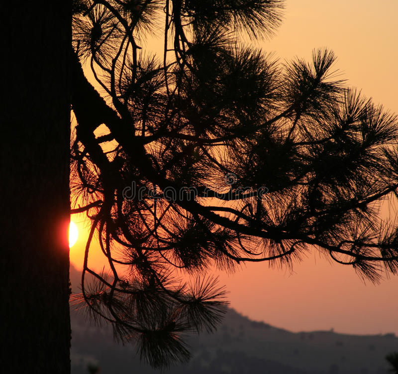 Puesta del sol a través de ramas del pino ponderosa imágenes de archivo libres de regalías