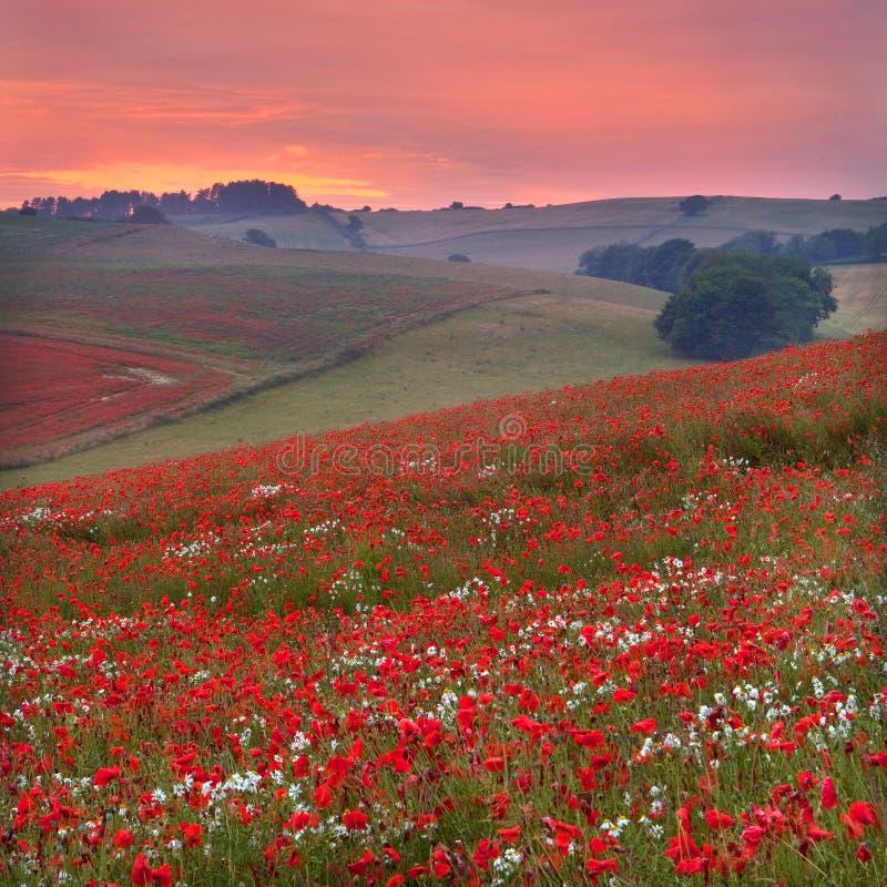 Puesta del sol a través de un poppyfield de Dorset imagenes de archivo