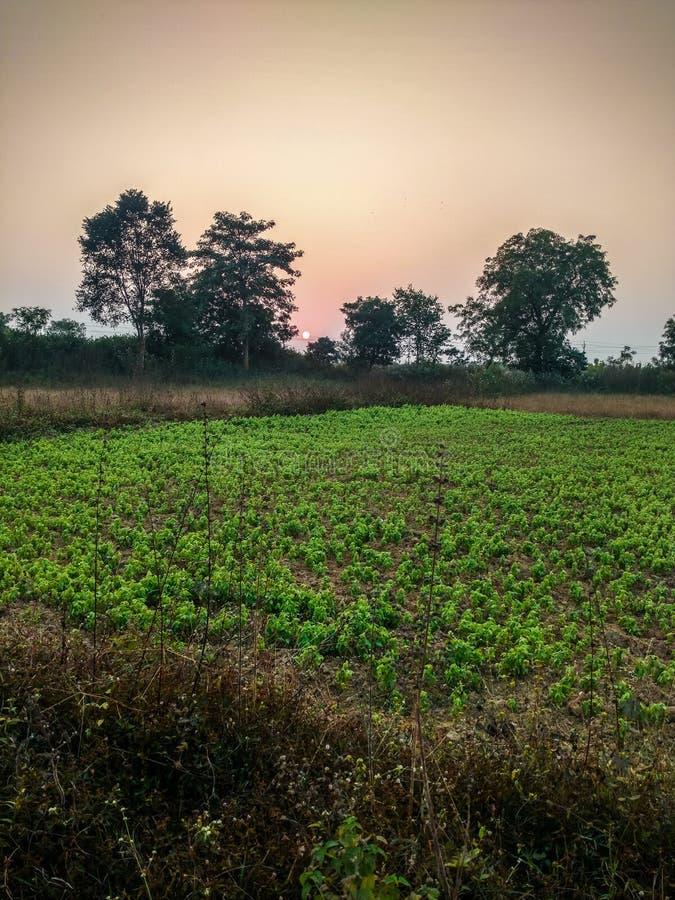 Puesta del sol verde de la tarde del cultivo de los guisantes forrajeros imágenes de archivo libres de regalías