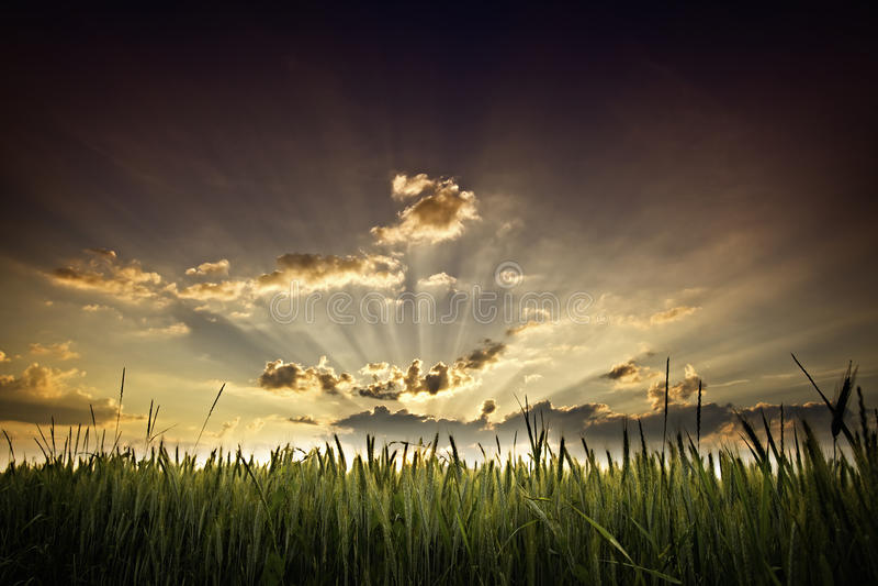 Puesta del sol y campo de maíz foto de archivo