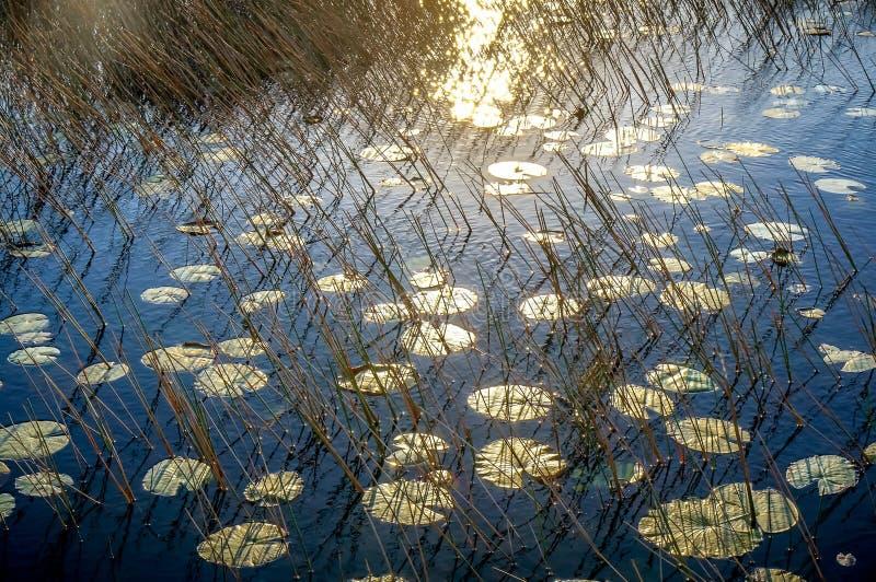puesta del sol y cojines de lirio imagenes de archivo