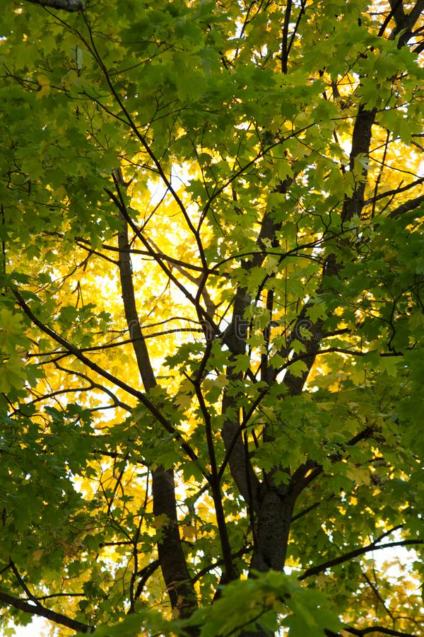 Puesta del sol y robles Luz del sol a través del follaje del árbol Hojas amarillas, rojas, verdes en luz del sol Fondo hermoso de imagen de archivo libre de regalías