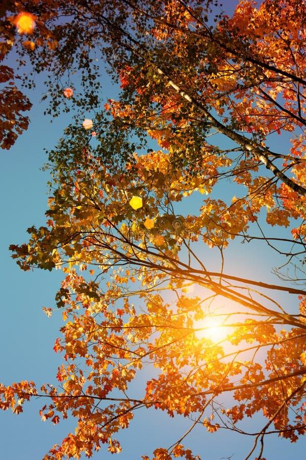 Puesta del sol y robles Luz del sol a través del follaje del árbol Hojas amarillas, rojas, verdes en luz del sol Fondo hermoso de foto de archivo libre de regalías