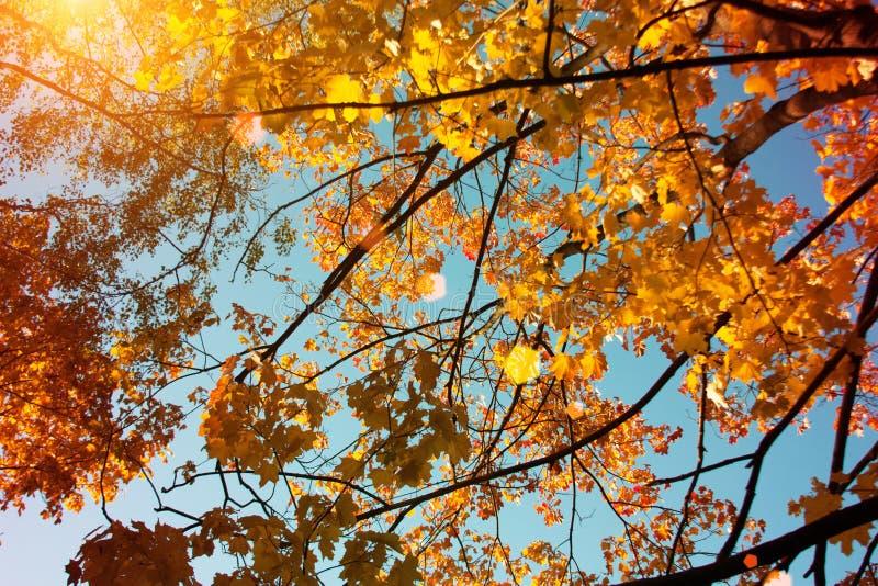 Puesta del sol y robles Luz del sol a través del follaje del árbol Hojas amarillas, rojas, verdes en luz del sol Fondo hermoso de fotos de archivo