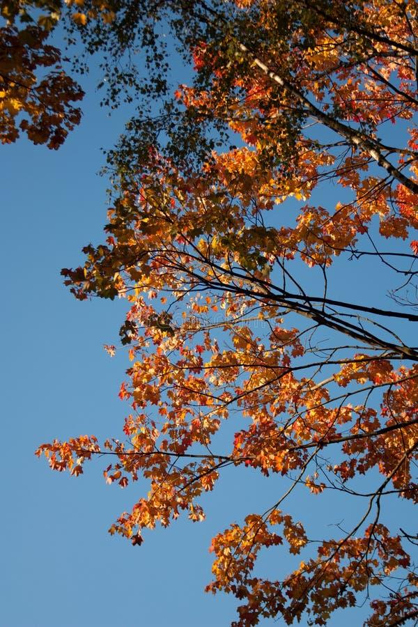 Puesta del sol y robles Luz del sol a través del follaje del árbol Hojas amarillas, rojas, verdes en luz del sol Fondo hermoso de foto de archivo