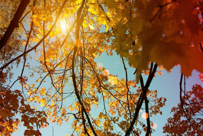 Puesta del sol y robles Luz del sol a través del follaje del árbol Hojas amarillas, rojas, verdes en luz del sol Fondo hermoso de fotos de archivo libres de regalías