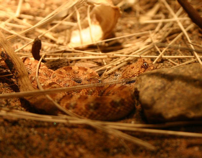Download Puff Adder stock photo. Image of wildlife, snake, scales - 69770