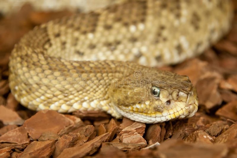 Puff Adder slithering on bark stock photo