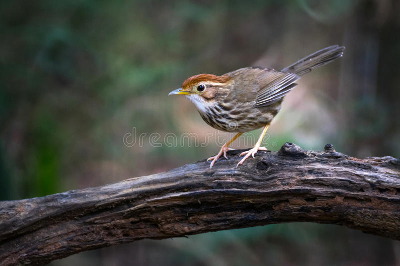 Puff-throated Babbler bird from reflex lens royalty free stock image