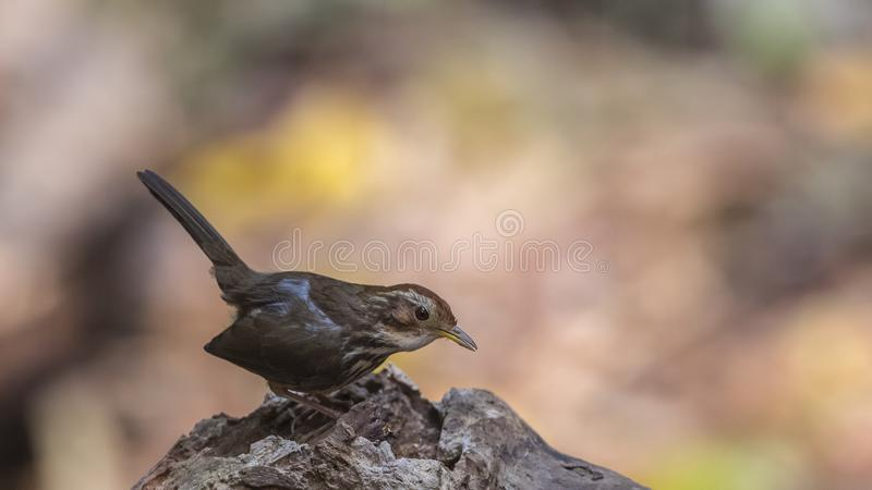 Puff-throated Babbler Eating Live Worm royalty free stock image