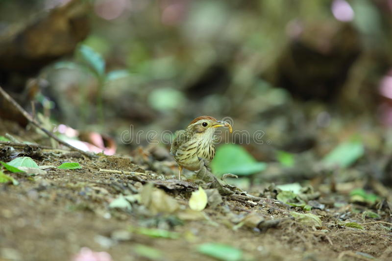 Puff-throated babbler stock image
